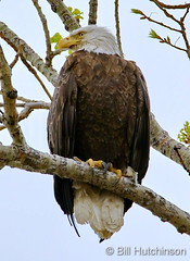 May 2, 2020 - Bald eagle keeping watch. (Bill Hutchinson)
