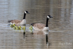 May 3, 2020 - Proud parents and goslings. (Tony's Takes)