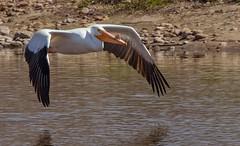 May 2, 2020 - Pelican taking flight. (Jessica Fey)