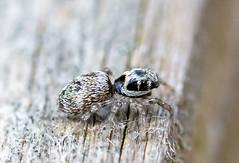 Garden 07.05.20 Stripy spider 2-1
