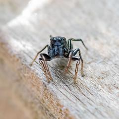 Garden 07.05.20 Jumping spider-1