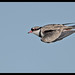 Black-fronted Dotterel: Fly Past