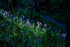 Dearham_woods_wildflowers_0400
