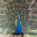 An Indian Peacock showing Off to the females nearby