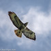Common Buzzard (Buteo buteo) soaring