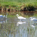little egrets 2