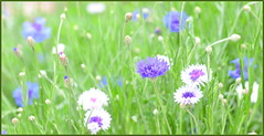 Happy Cornflower Scene
