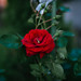 Beautiful red roses in the garden closeup.