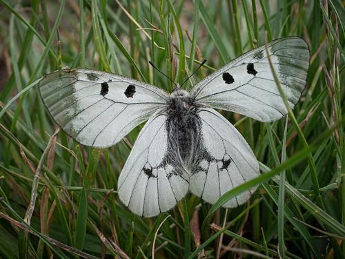 Schwarzer Apollofalter, Apollo butterfly, Parnassius mnemosyne