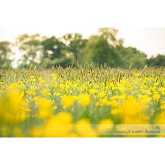 Love a field of buttercups