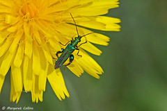 Photo of Swollen-thighed Beetle - Oedemera nobilis