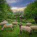 Naturschutz braucht Schafe/ nature conservation needs sheep