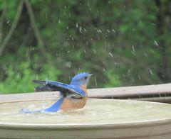 Anglų lietuvių žodynas. Žodis bathing reiškia n maudymas(is) lietuviškai.