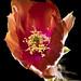 Opuntia aciculata_DSC3892