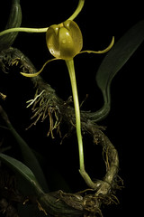 Bulbophyllum tollenoniferum J.J.Sm., Repert. Spec. Nov. Regni Veg. 11: 139 (1912)