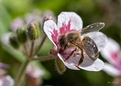 Bij - Abeja - Bee
