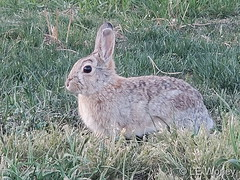 May 10, 2020 - Rabbit out for a walk.  (Lalania Worley)