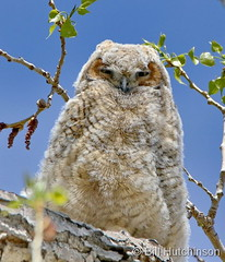 May 9, 2020 - A tired great horned owl owlet. (Bill Hutchinson)