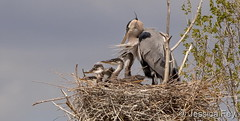 May 9, 2020 - Great blue heron and babies. (Jessica Fey)