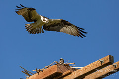 May 10, 2020 - Male osprey flyby of the nest. (Tony's Takes)