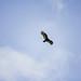 Turkey Vulture 2010 03 13 01