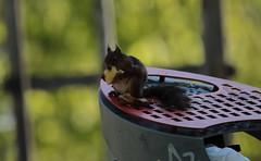 Squirrel-Ekorre