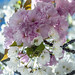 Grafted pink and white hybrid cherry tree