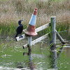 Cormorant on Forth and Clyde Canal, Allandale