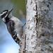 Downey Woodpecker (f)