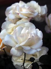 Camí de roses blanques