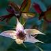 Wabi-sabi - farewell, harlequin rose