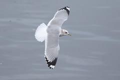 Mew Gull - Qualicum BC