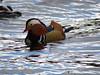 Mandarin Duck - Damflask Reservoir, March 2020