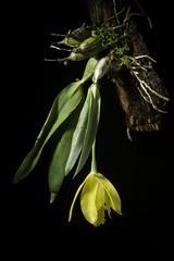 Prosthechea karwinskii (Mart.) J.M.H.Shaw, Orchid Rev. 119(Suppl.): 38 (2011)