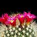 Mammillaria in bloom