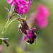 bee and flower - Goblin Lane Bridle Path, Cullompton, Devon - May 2020