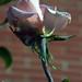 014266 - Rosa