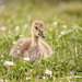 Gosling Lying in Clover Patch