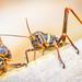 Gafanhoto Saltamontes Grasshopper Sauterelle