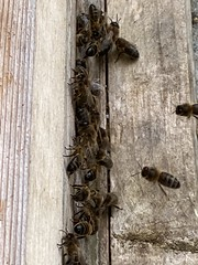 Photo of It may have been a bit windy today and a bit of rain but the bees were still busy and I managed to get the fist super of honey off one of the hives.  Second one shouldn't be too long.  So tomorrow, job for Liz is to spin the frames and jar the honey.