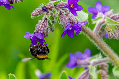 Bumblebee by Matjaž Mirt, on Flickr
