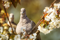 Photo of Collared Dove
