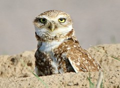 May 16, 2020 - A very alert burrowing owl. (Bill Hutchinson)