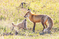May 17, 2020 - Fox kit playing with dad. (Tony's Takes)
