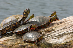 May 12, 2020 - The whole turtle family. (Tony's Takes)