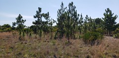 Anglų lietuvių žodynas. Žodis longleaf pine reiškia longleaf pušis lietuviškai.