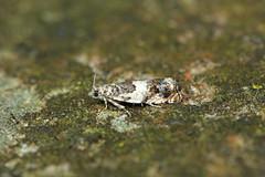 Photo of 49.244 Epinotia subocellana, Cullaloe, Fife