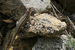 Anglų lietuvių žodynas. Žodis sceloporus graciosus reiškia <li>Sceloporus graciosus</li> lietuviškai.