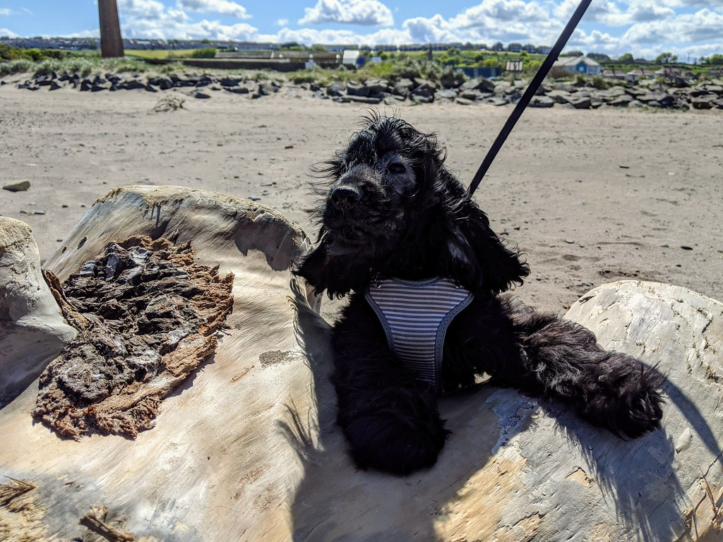 Dexter, Spittal Beach, May 2020
