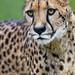 Close cheetah